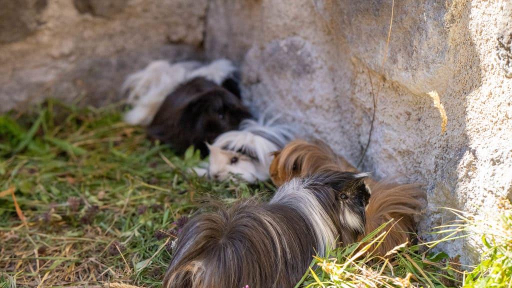 Les cochon d'Inde mangent de l'herbe