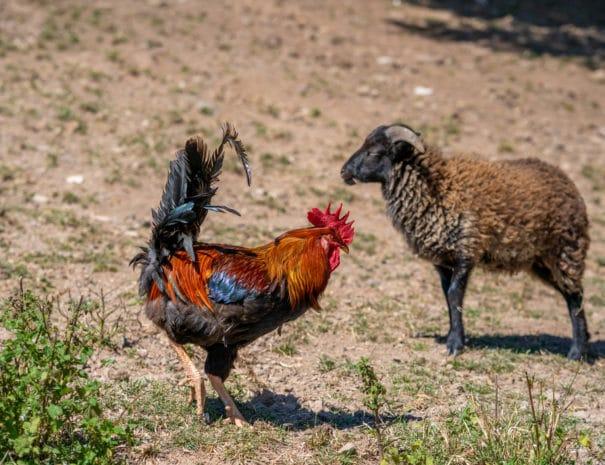 Le coq et un mouton se baladent dans le pré