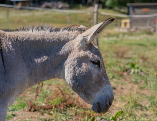 Inouie de profil avec les oreilles dressées