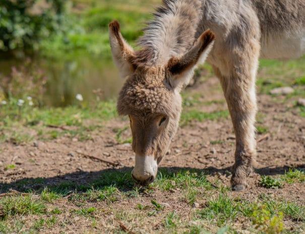 Kirikou broute de l'herbe les oreille dressées sur sa petite tête