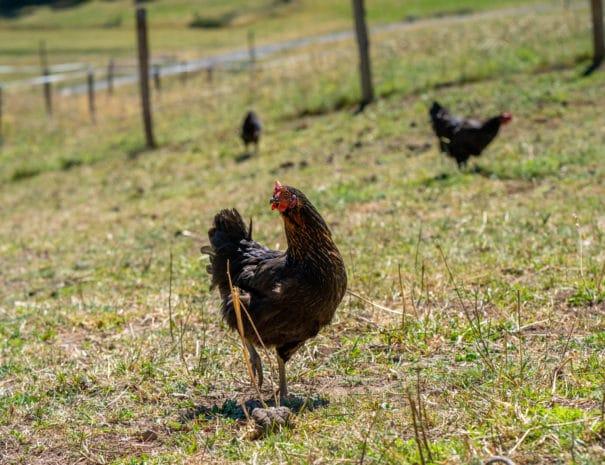 Groupe de poules noires