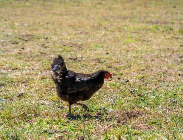 Poule noire cherche de la nourriture