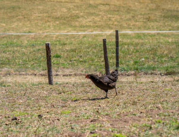 Poules noire se déplace en quête de nourriture