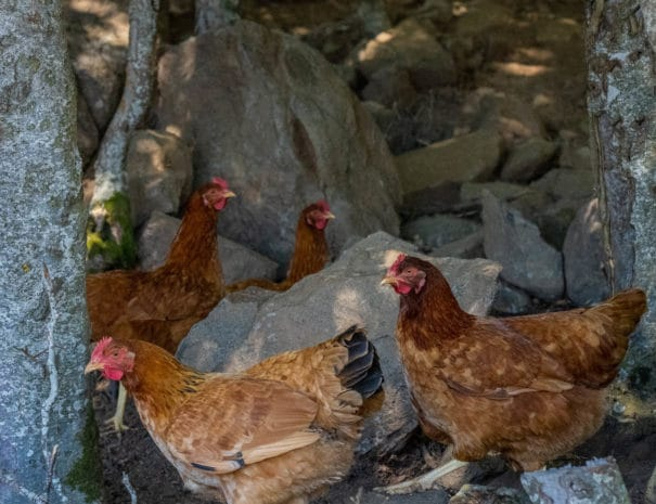 Groupe de poules rousses à l'ombre des arbres