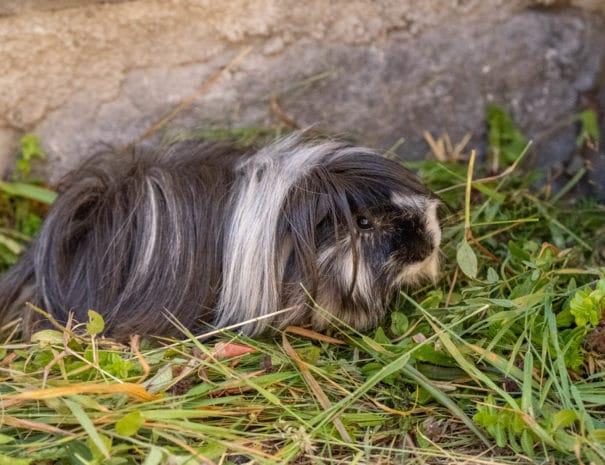 Rio, le mâle de nos cochons d'Inde