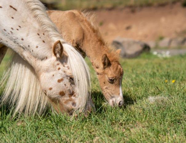 Sonja et son poulain broutent de l'herbe