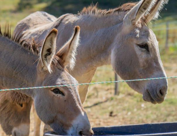 Les ânes boivent l'eau dans leur paddock