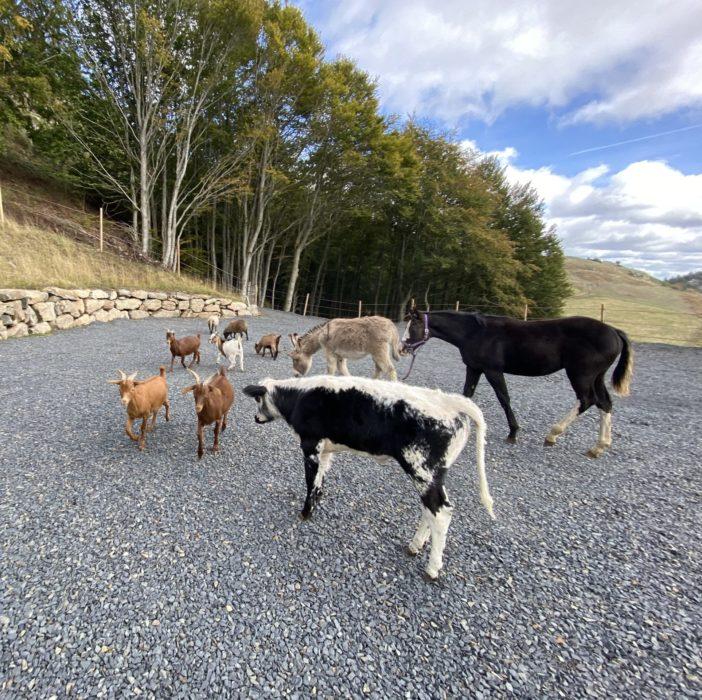 Chèvres, veau, poulain