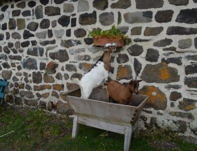 chèvres dans petrin